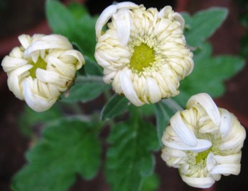 Guldaudi Sevanti Mum Chrysanthemum