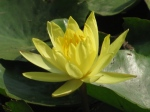 Simriti Ban, Jawaharlal Nehru Marg, Jaipur,yellow waterlilly