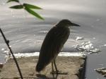 Sunrise At The Man Sagar Lake, Paddy Bird